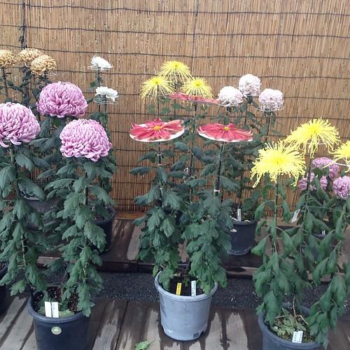 Yoyogi Park -- Chrysanthemums are very popular in Japan.