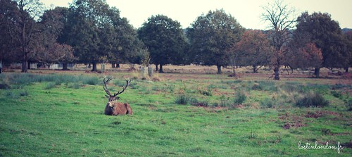 cerf richmond park londres