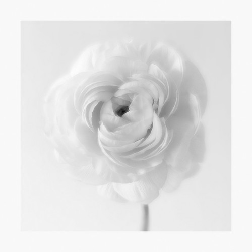 Ranunculus in black and white