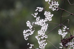 Clematis apiifolia var. apiifolia