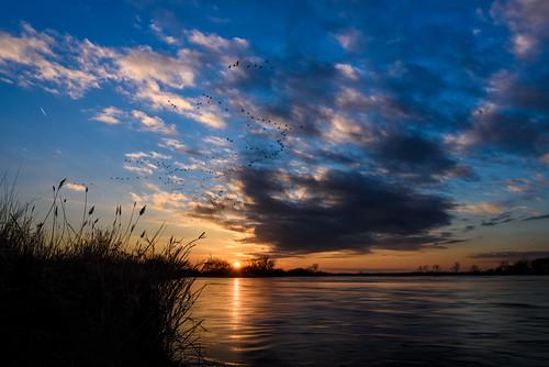 sandhillcranes platteriver sunset nebraska birdsinflight largeflockofbirds reeds cranes water'sedge nature landscape
