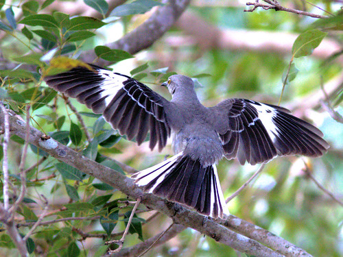 Northern Mockingbird 03-20170403