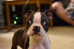 Greta, The Boston Terrier Pup March 4, 2017