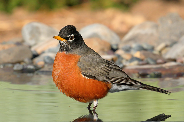 American Robin (7484)