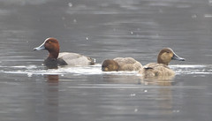 Redhead Duck (Male & Female)