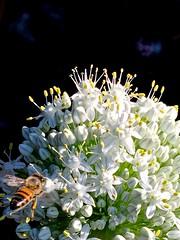 Honey Bee Foraging On Allium Flowers -  Edible Passover White Onions <<>> IMG_0996 - Version 3