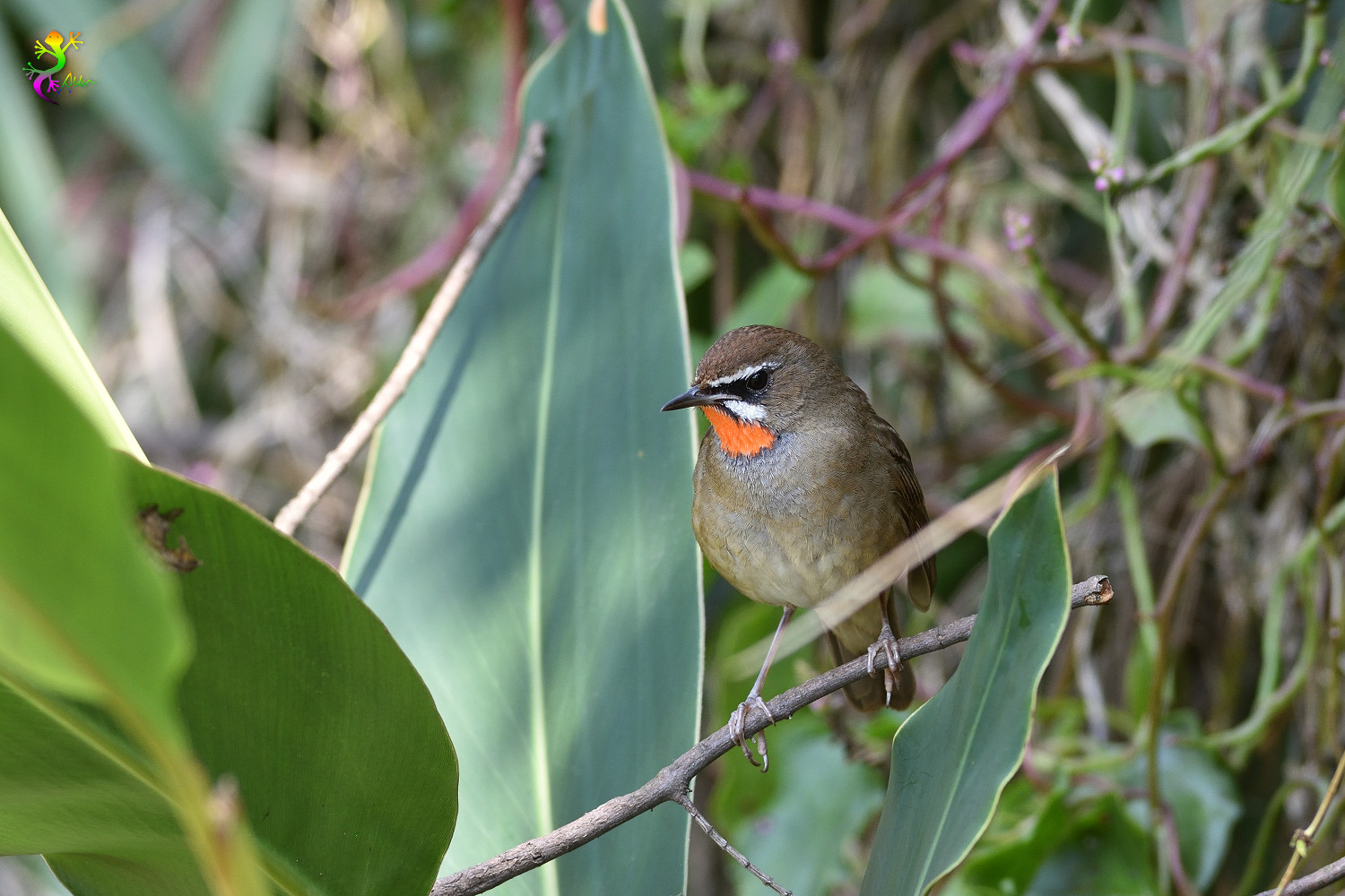 Rubythroat_8372