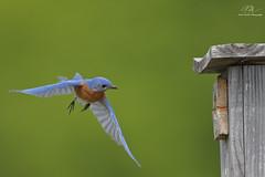 Eastern Bluebird Flying to Nesting Box