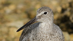 Willet- Hudson Beach, Florida