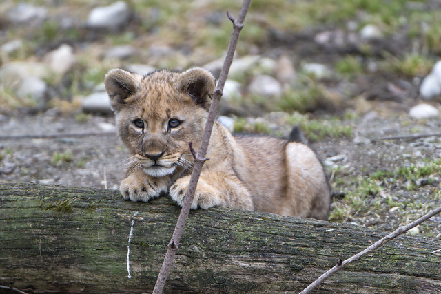 Baby lioness posing on the log