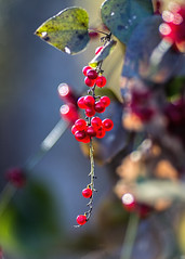 Berries at the end of the vine