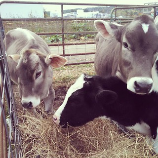 Getting my baby cow fix! #babyanimals #farmstand #cows #farmanimals #love #fall #newhampshire