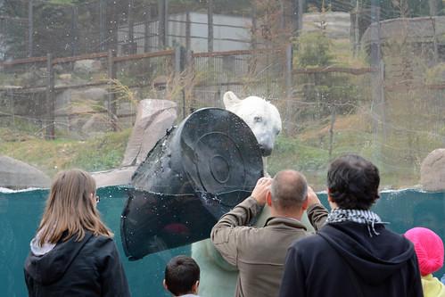Eisbär Vicks im Parc zoologique et botanique de Mulhouse