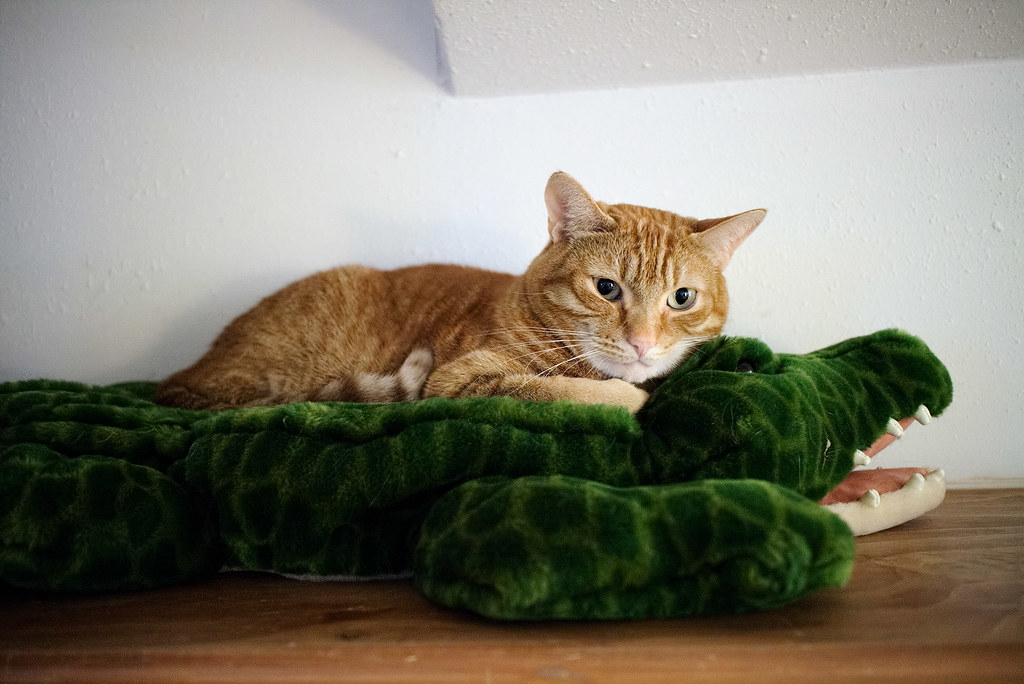 Our cat Sam sleeping on a plush alligator