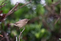 13褐色柳鶯