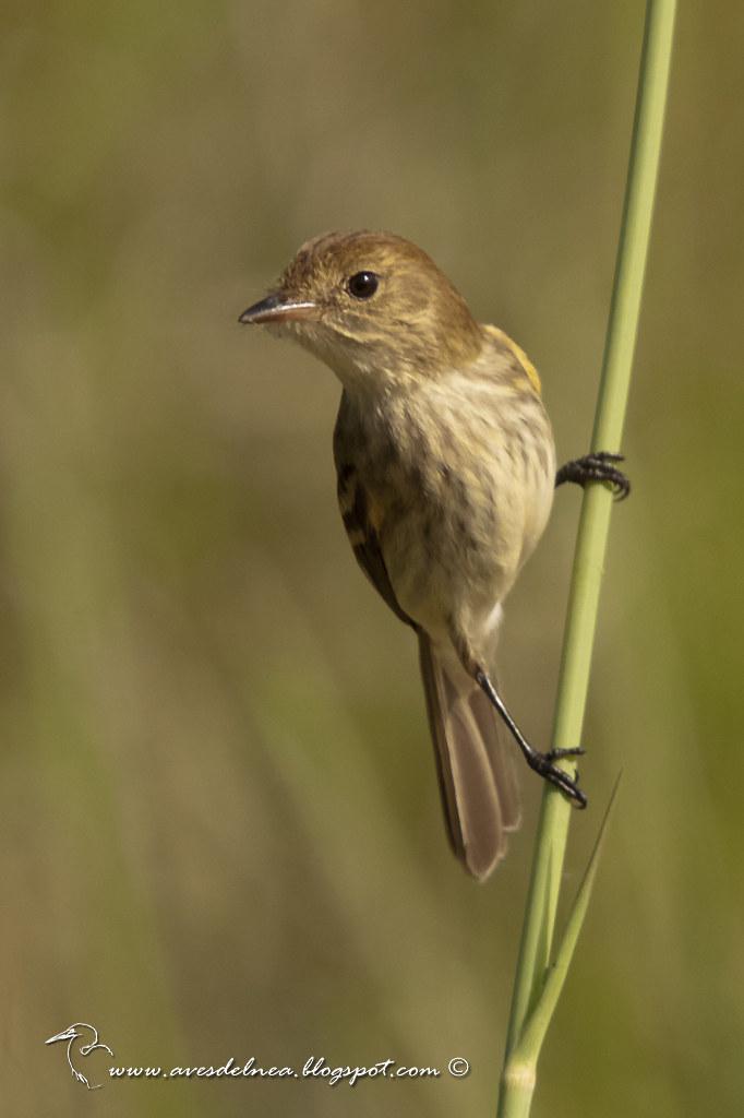 Mosqueta estriada (Bran-colored Flycatcher) Myiophobus fasciatus