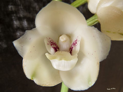 Peristeria elata - Flor del Espíritu Santo, Flor nacional de Panamá