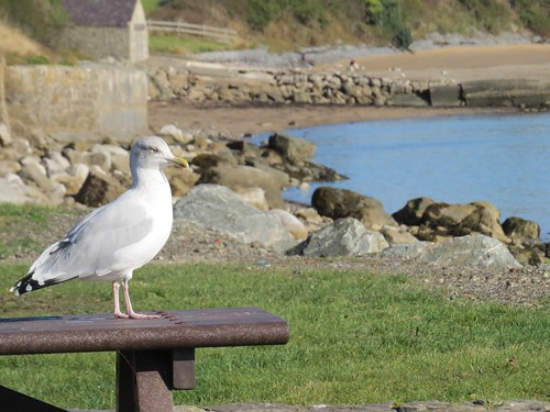 745 Herring Gull