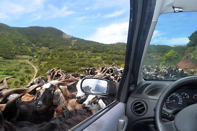 Goat road jam, Teno, Tenerife