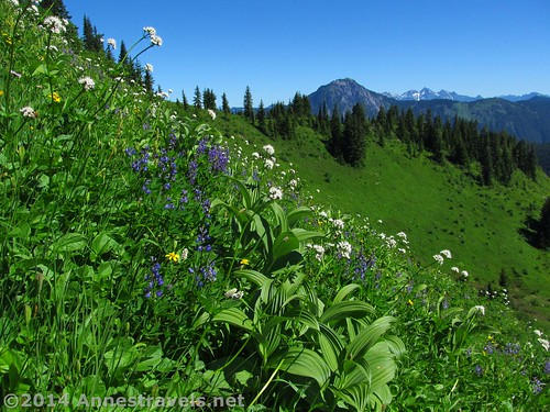 They were right...the wildflowers were out in abundance on the Canyon Ridge Trail, Mt. Baker-Snoqualmie National Forest, Washington