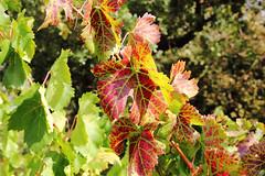 Les feuilles où l'automne écrit son humeur. (Draguignan France).