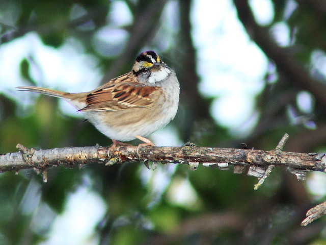White-throated Sparrow 3-20141009