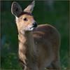 Chinese Water Deer (image 3 of 3)
