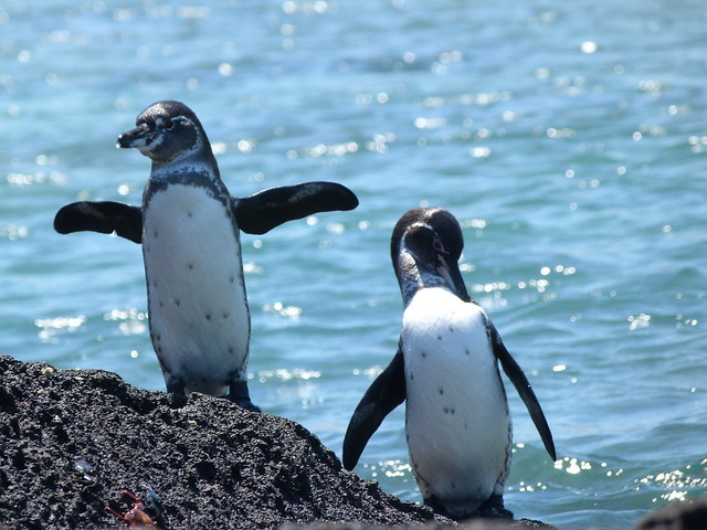 Pingüinos de Galápagos