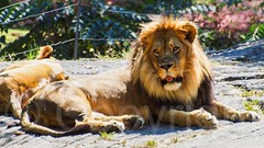 Lion at the Bronx Zoo, New York City