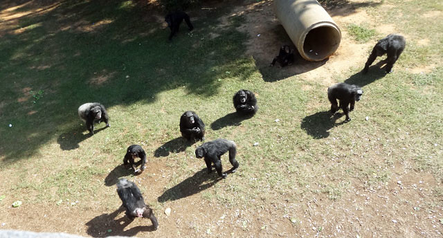 chimps-from-above