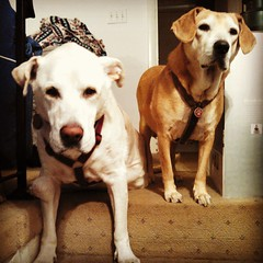 Zeus & Sophie, oldest & youngest. #dogstagram #instadog #ilovemydogs #ilovemyseniordog #ilovebigmutts #seniordog #labmix #houndmix #love