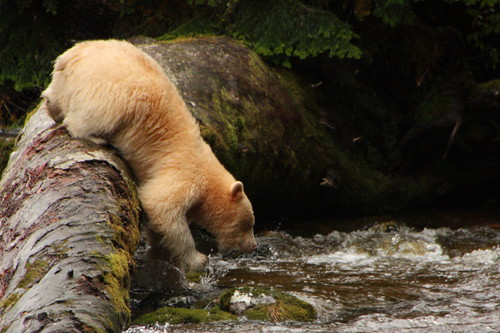 A white spirit bear fishing in the Great Bear Rainforest 4