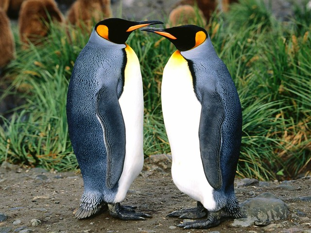 Getting All the Gossip, King Penguin www.affiliatemarketers.ga