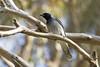 Black-faced Cuckoo-shrike 2014-10-24 (_MG_5426)
