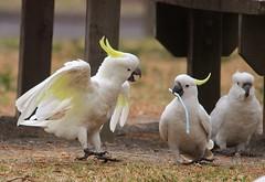 parakeet(0.0), cockatoo(1.0), animal(1.0), parrot(1.0), wing(1.0), pet(1.0), sulphur crested cockatoo(1.0), fauna(1.0), beak(1.0), bird(1.0),