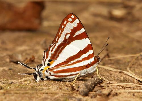 White Punch (Dodona deodata, Riodinidae)