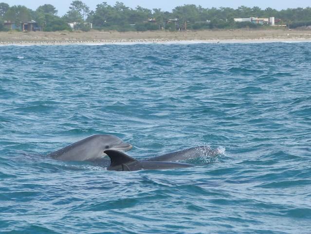 Delfines en el estuario del río Sado (Alentejo, Portugal)