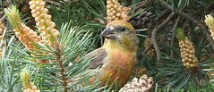 crossbill-2015-650by280px