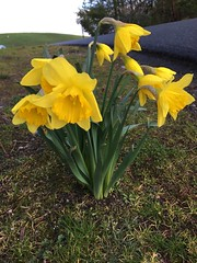 Happy Daffodils