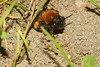 Tawny Mining Bee (Andrena fulva) emerging from nest
