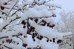 Snow Covering Crabapple Tree Branches 009