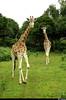 Male & Female giraffe