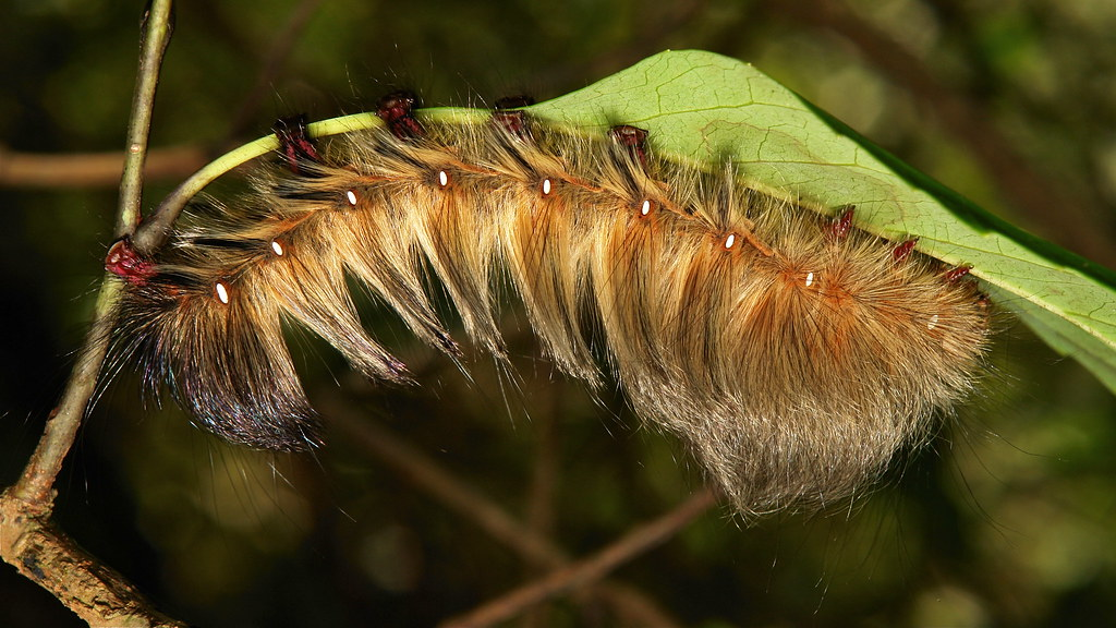 Late Instar Moth Caterpillar, most likely Eupterotidae