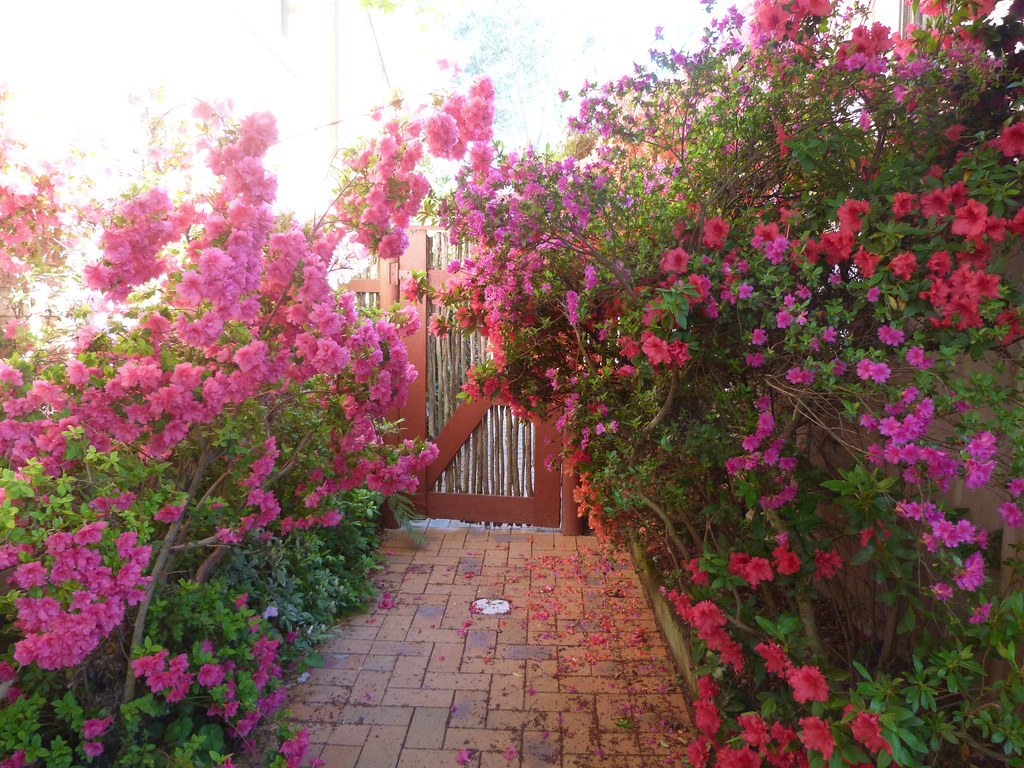 Azaleas at the side gate