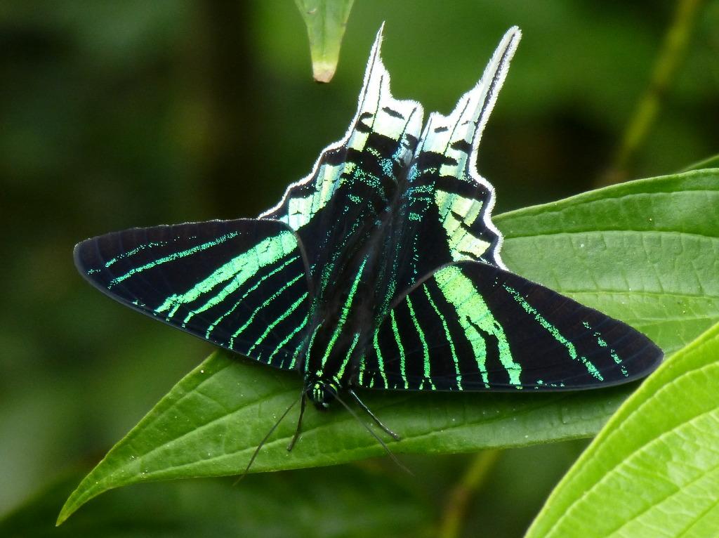 Green-banded Urania, Urania leilus