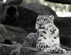 panthère blanche