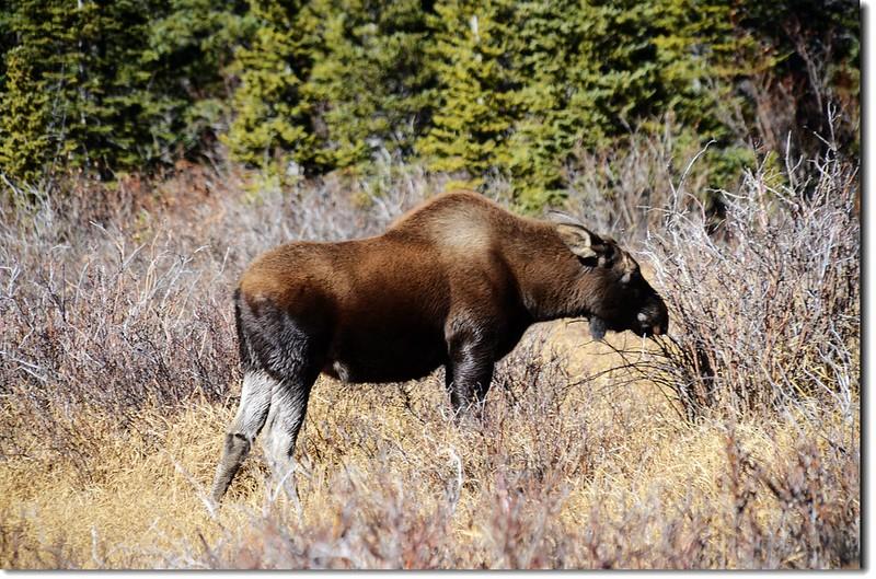 Moose at  Brainard Lake Recreation Area (5)