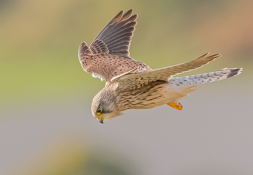 Kestrel      Great Orme