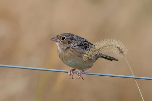 grasshoppersparrow sparrow bird ammodramussavannarum waterfordfarm maryland bonniecoatesott