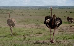 adventure(0.0), emu(1.0), animal(1.0), prairie(1.0), plain(1.0), ostrich(1.0), flightless bird(1.0), fauna(1.0), savanna(1.0), grassland(1.0), safari(1.0), bird(1.0), ratite(1.0), wildlife(1.0),
